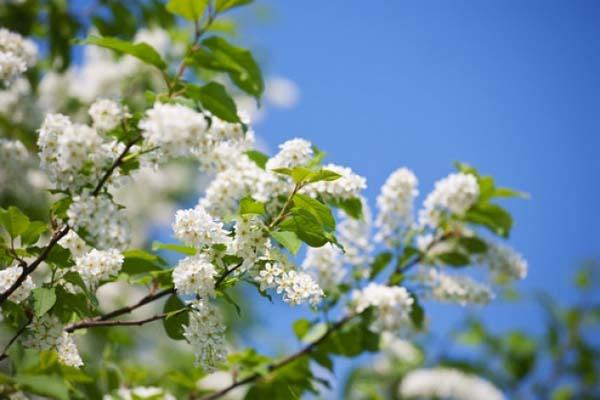 Раннее цветение черемухи пророчит теплое лето